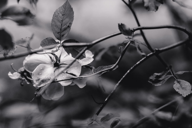 Sliacka photo black-and-white-rose