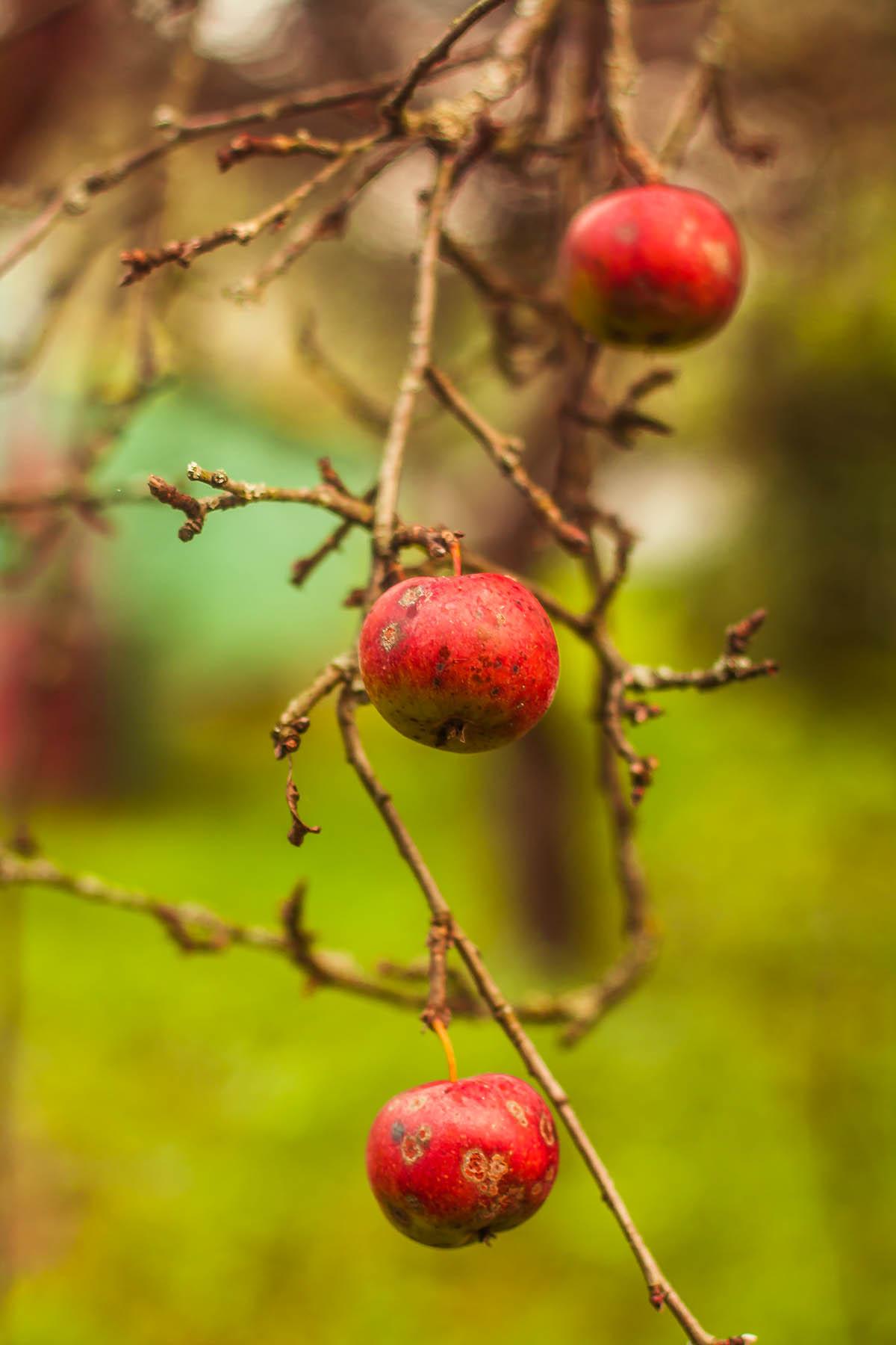 Sliacka photo apples2