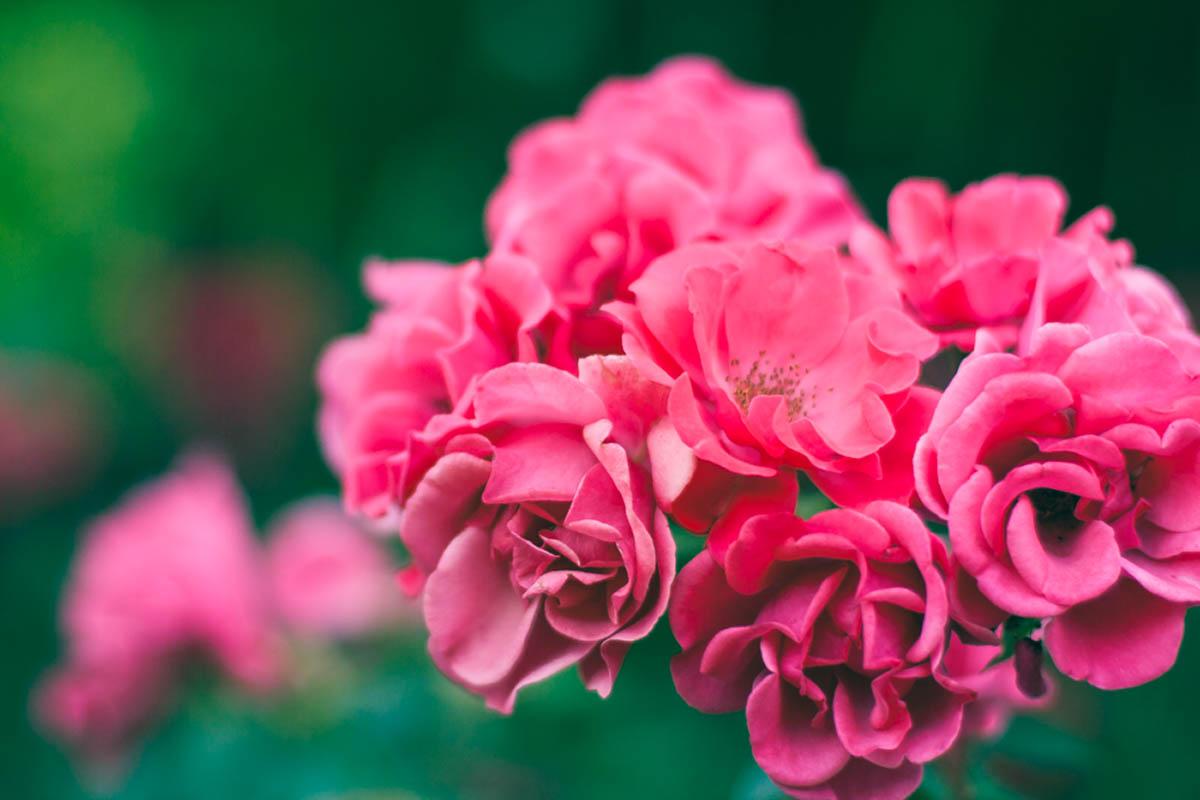 Sliacka photo roses