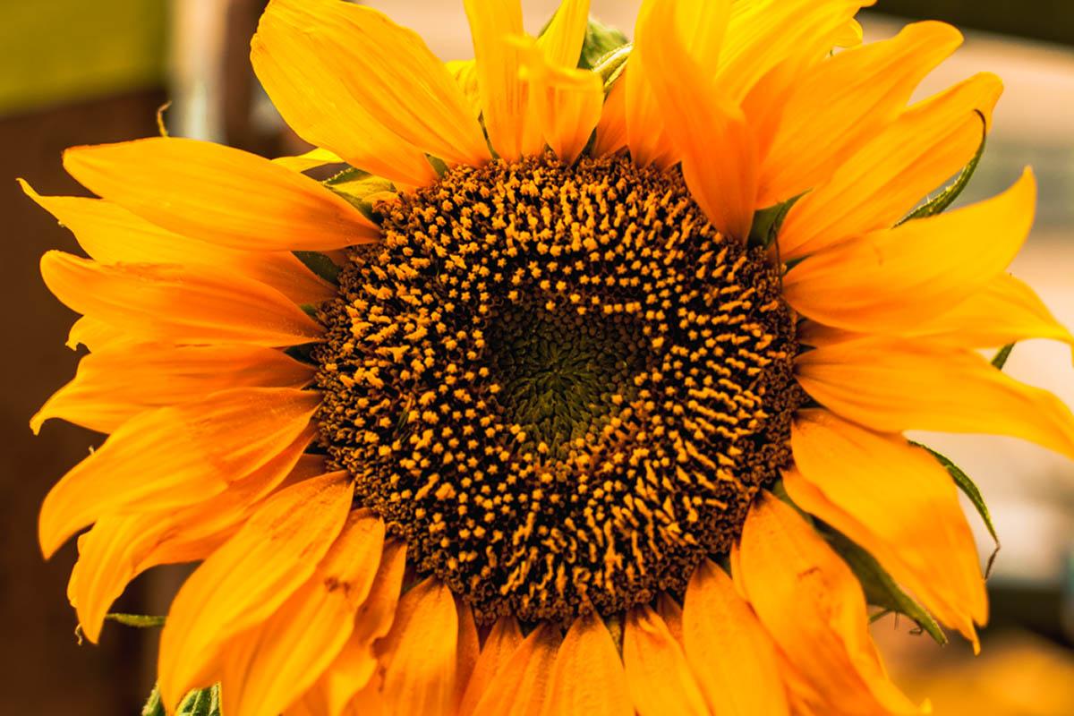 Sliacka photo sunflower