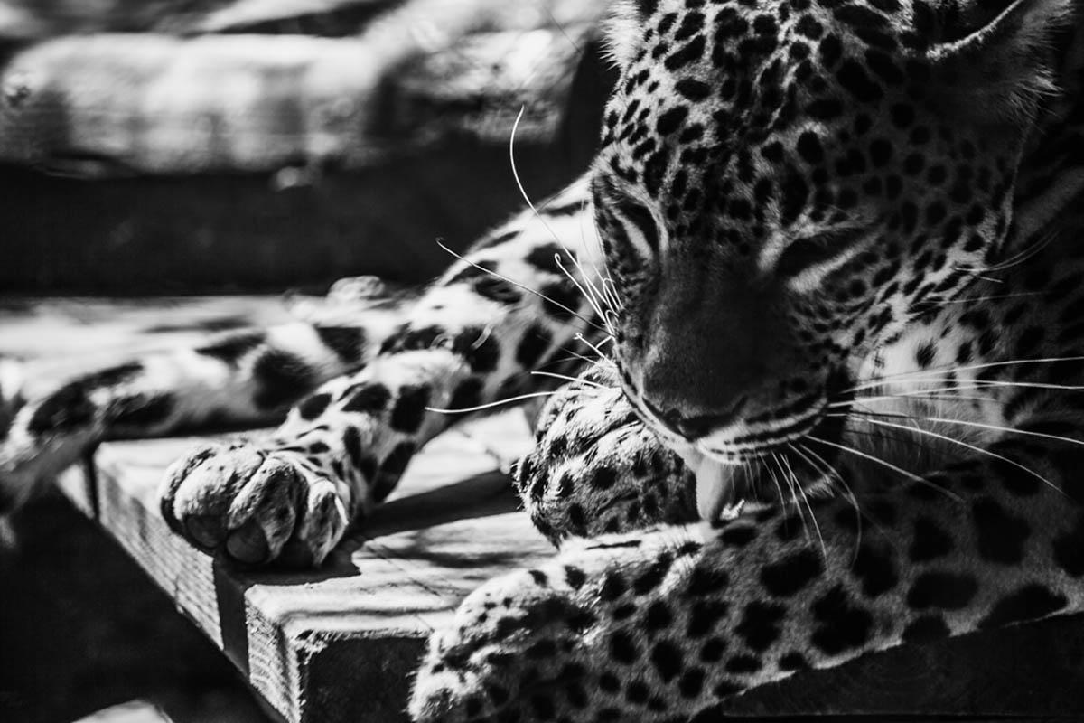 Sliacka photo jaguaris