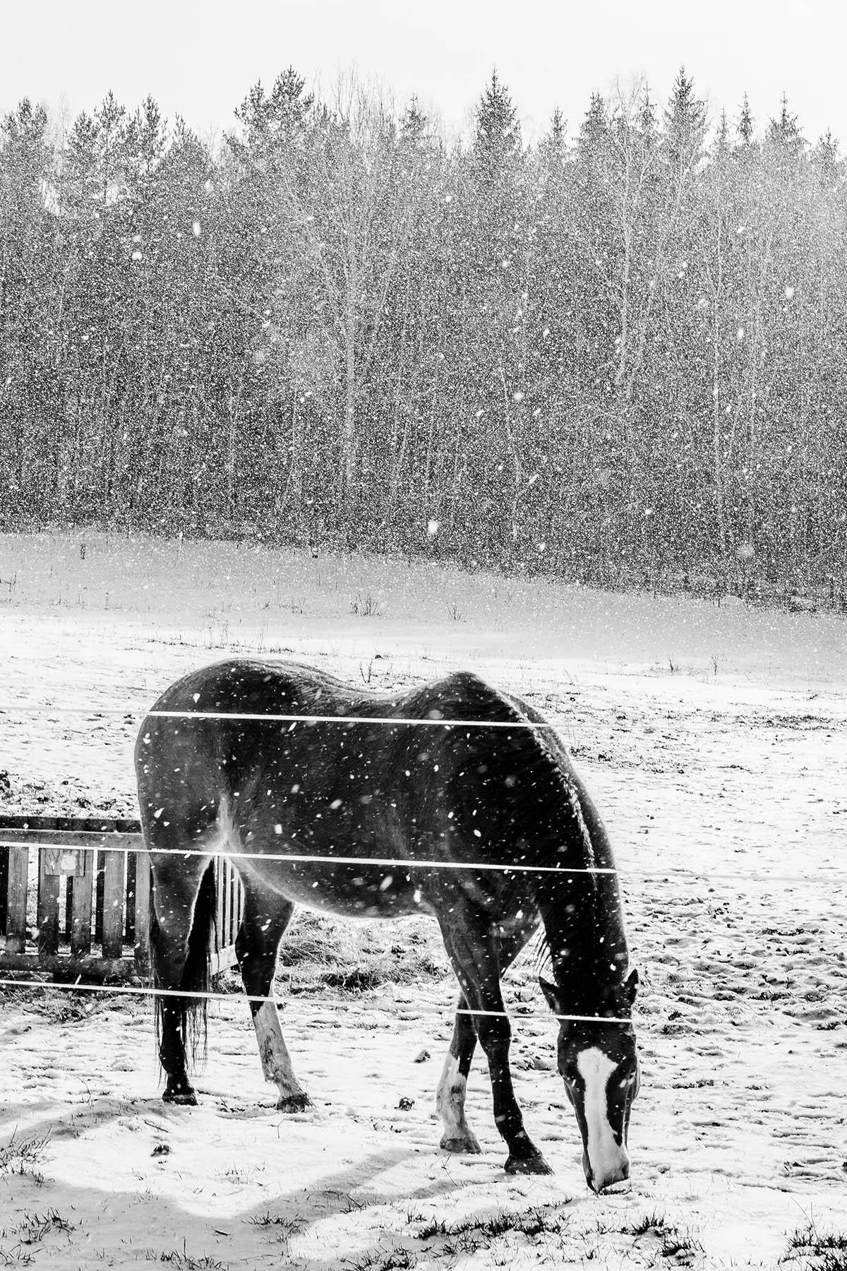Sliacka photo horse